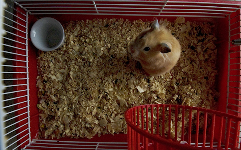 How often to clean Hamster Cage