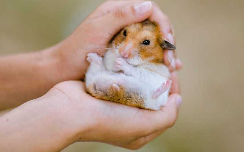 Benefits of Owning a Hamster