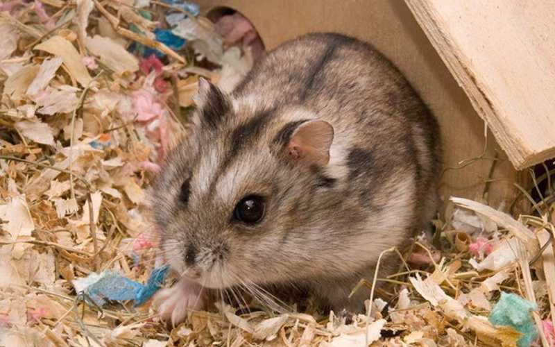 Campbell Hamsters