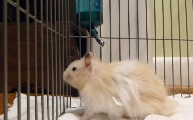 Long-Haired Hamster Care