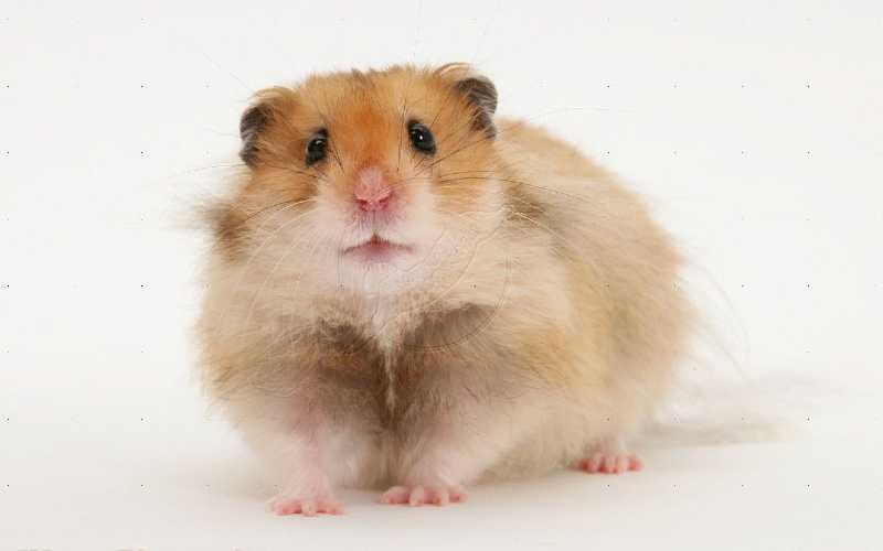 Long Haired Syrian Hamsters