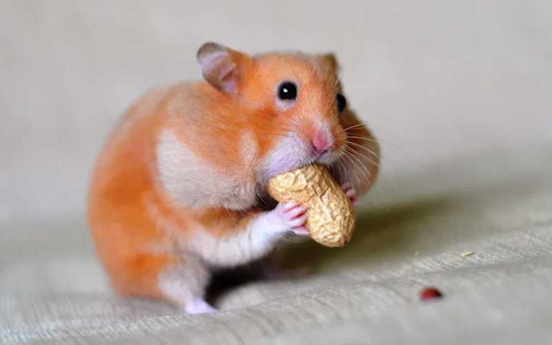 Can Hamsters Eat Peanuts