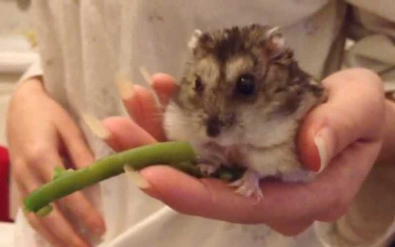 Can Hamsters eat Green Beans