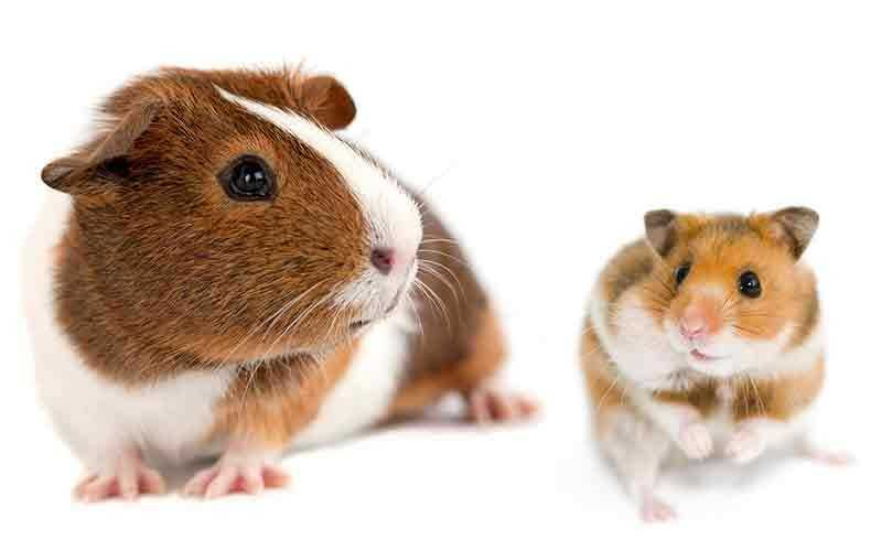 Can Hamsters eat Guinea Pig food