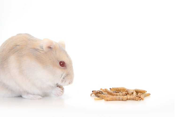 Can hamsters eat mealworms