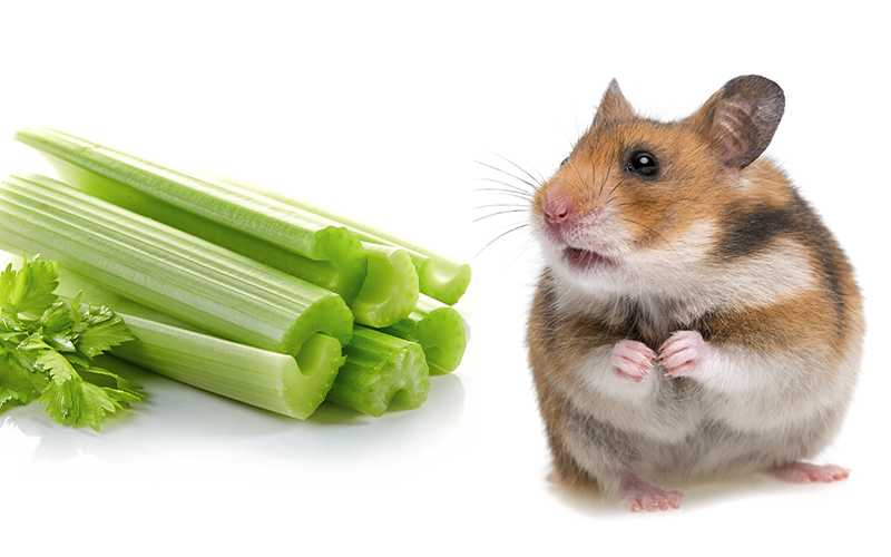 Can hamsters have celery