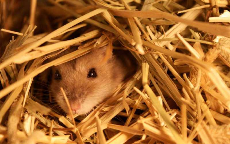 Do Syrian Hamsters hibernate