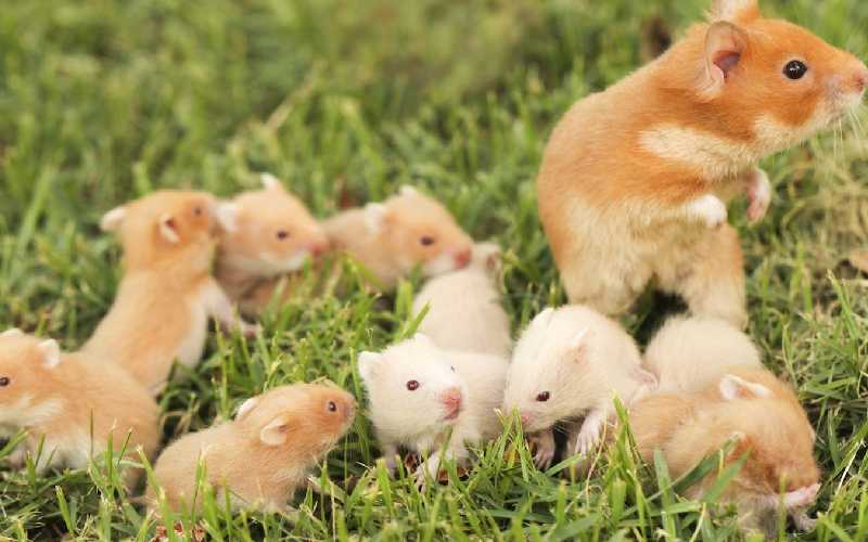 Syrian Hamsters Life Span