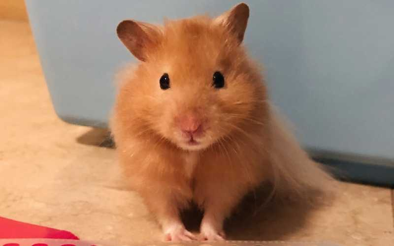Golden Hamster Care